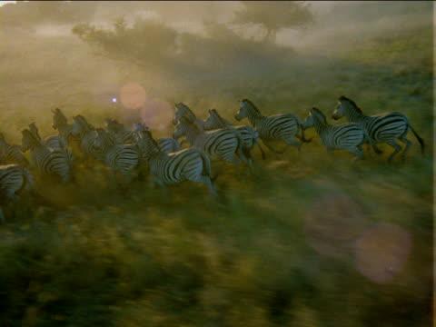 track left over herd of zebras running across grassy plain. - pferdeartige stock-videos und b-roll-filmmaterial
