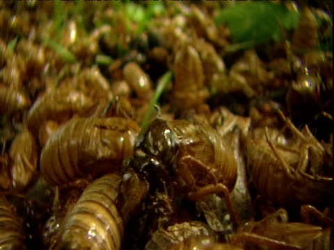 track left over hundreds of shed cicada larval cases - animal exoskeleton stock videos & royalty-free footage