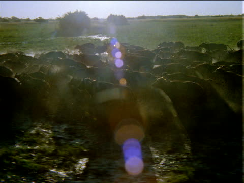 Track left over large herd of buffalo running through flooded grassy plains in bright sunlight