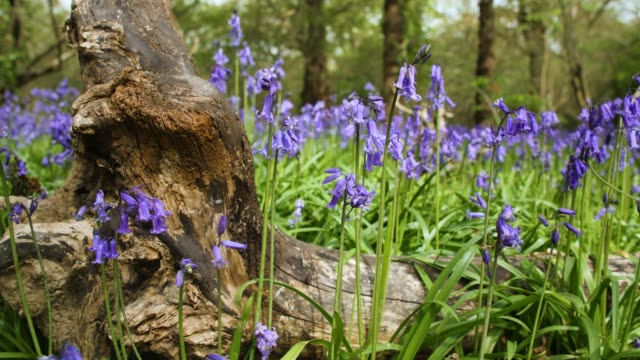 track left over log and bluebells in bloom - log stock videos & royalty-free footage