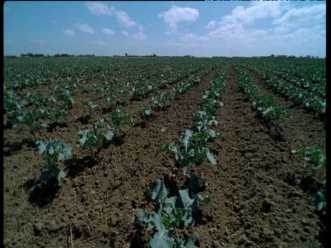 vidéos et rushes de track left over long rows of young cabbages growing in field, uk - crucifers