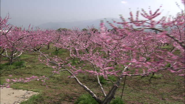 Track left over peach trees in blossom in orchard