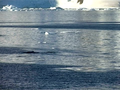 wa track left through calm sea, white snowy mountain in background, whales surfacing, antarctic peninsula - surfacing stock videos & royalty-free footage