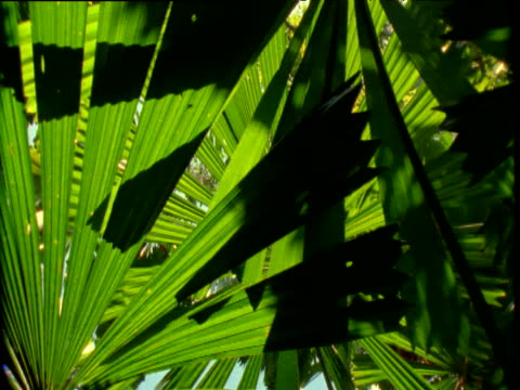 vídeos y material grabado en eventos de stock de track left under fronds of fan palms in rainforest, daintree, australia - fan palm tree