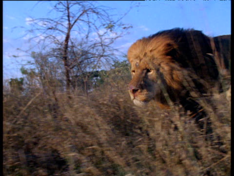 Track left with male lion running through long grass