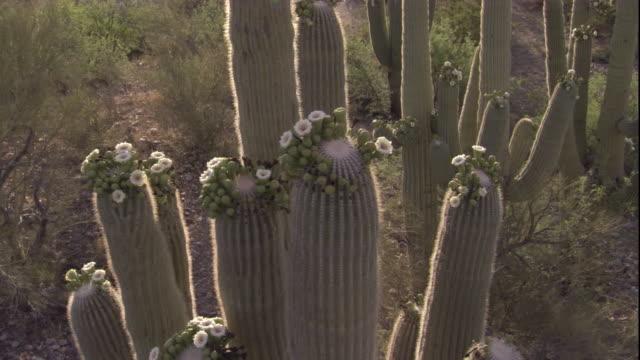 vídeos y material grabado en eventos de stock de track over a flowering saguaro cactus in the sonoran desert. available in hd. - cactus saguaro