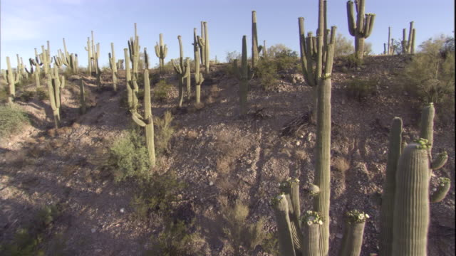 Track over a flowering Saguaro cactus in the Sonoran Desert. Available in HD.