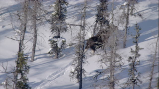track over and zoom out from a moose running through a snowy boreal forest. available in hd. - boreal forest stock videos and b-roll footage