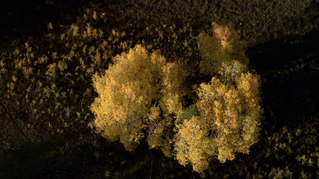 Track over autumnal golden aspen (Populus tremuloides), Yellowstone, USA