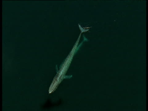 track over blue whale and calf, sea of cortez - blue whale stock videos & royalty-free footage