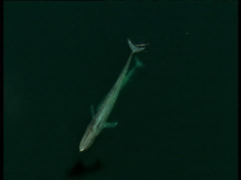 vídeos de stock, filmes e b-roll de track over blue whale and calf, sea of cortez - baleia azul