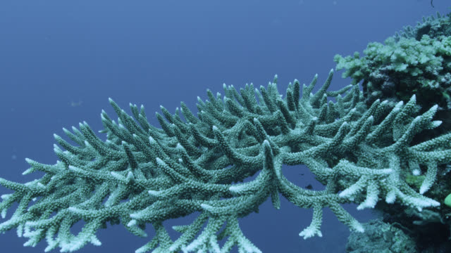 Track over branching coral on reef wall, Fiji