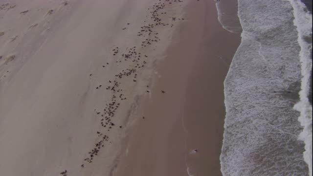 track over cape fur seal colony, skeleton coast, namibia - ミナミオットセイ点の映像素材/bロール