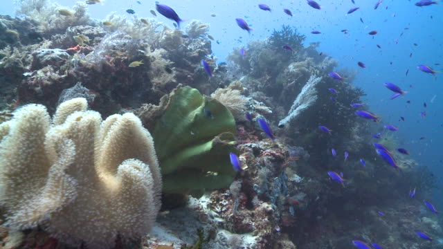 Track over coral, feather stars etc, lots of blue fish, Southern Visayas, Philippines