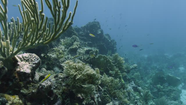 track over coral on reef, belize - wrasse stock videos & royalty-free footage