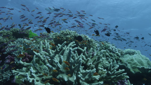 vídeos de stock e filmes b-roll de track over coral reef and fishes, fiji - cheio