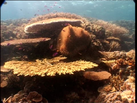 """vidéos et rushes de track over corals, anemone and fishes, walindi, new britain - """"bbc natural history"""""""
