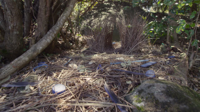 Track over display objects and bower of satin bowerbird (Ptilonorhynchus violaceus), Australia