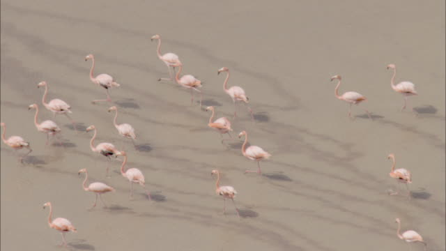 Track over flamingos wading through water Available in HD.