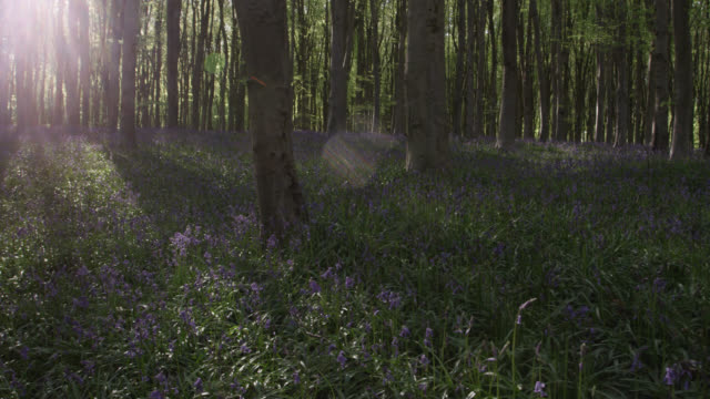 track over flowering bluebells (hyacinthoides non-scripta) in spring woodland, wiltshire, england - woodland stock videos & royalty-free footage