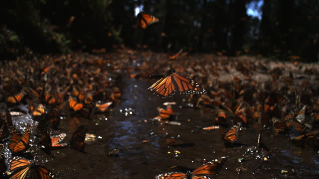 slomo track over group of monarch butterflies taking off from pool on forest floor - migrazione animale video stock e b–roll