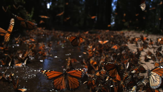 SLOMO track over group of Monarch Butterflies taking off from pool on forest floor
