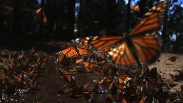 slomo track over group of monarch butterflies taking off from pool on forest floor - farfalla video stock e b–roll