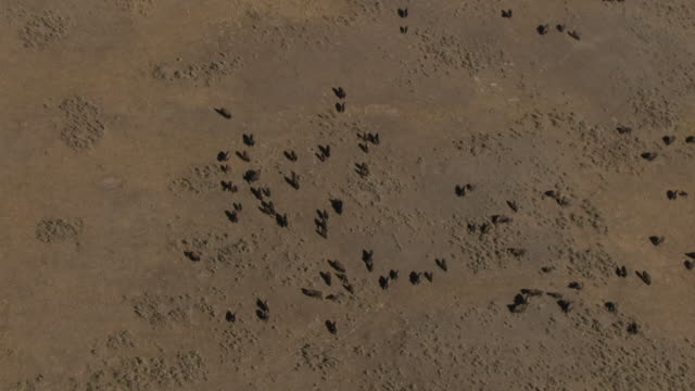 track over herd of bison (bison bison) on prairie, yellowstone, usa - prairie stock videos and b-roll footage