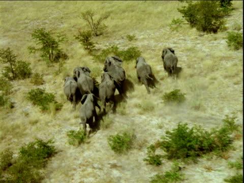 Track over herd of elephants running through savanna , Africa