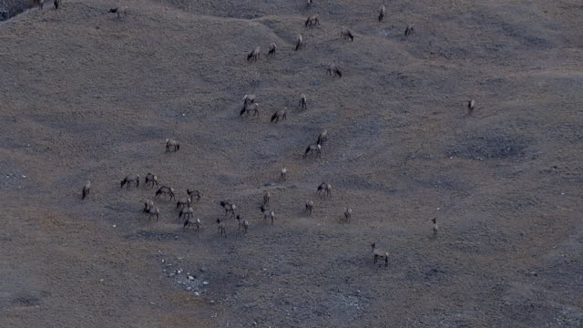 Track over herd of elk (Cervus canadensis) on mountainside, Yellowstone, USA