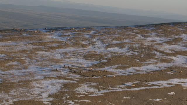 track over herd of elk (cervus canadensis) on snowy mountainside, yellowstone, usa - kronhjort bildbanksvideor och videomaterial från bakom kulisserna