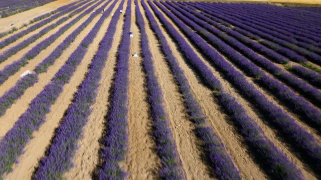 track over lavender plants, japan. - wiederholung stock-videos und b-roll-filmmaterial
