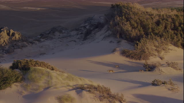 track over lion and cubs in desert, skeleton coast, namibia - namibia desert stock videos and b-roll footage