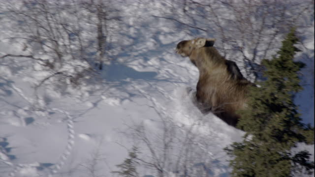 track over moose running through a snowy boreal forest. available in hd. - taiga stock videos and b-roll footage