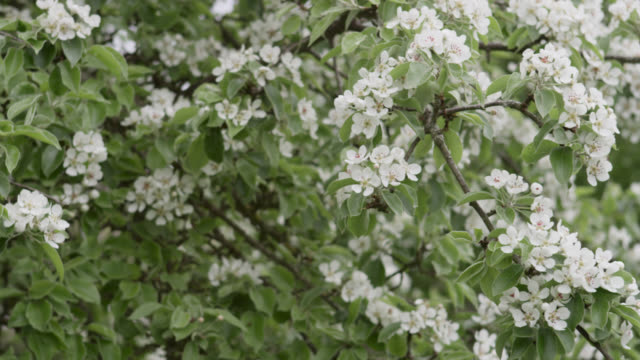 track over orchard trees in blossom, herefordshire, england - herefordshire stock videos & royalty-free footage