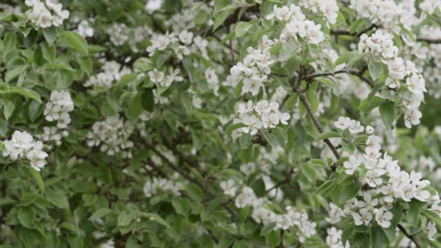 track over orchard trees in blossom, herefordshire, england - herefordshire bildbanksvideor och videomaterial från bakom kulisserna