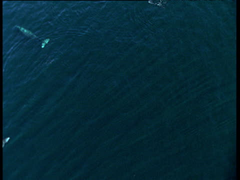 track over pod of grey whales, sitka, alaska - aquatic mammal stock videos and b-roll footage