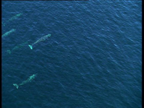 track over pod of grey whales. sitka, alaska - migrating stock videos & royalty-free footage