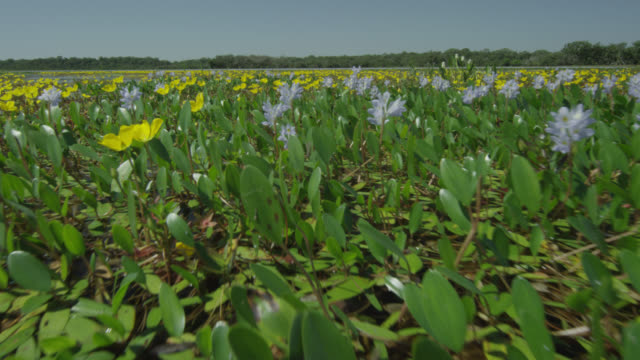 Track over yellow flowers and water hyacinths (Eichhornia crassipes) growing in lake.