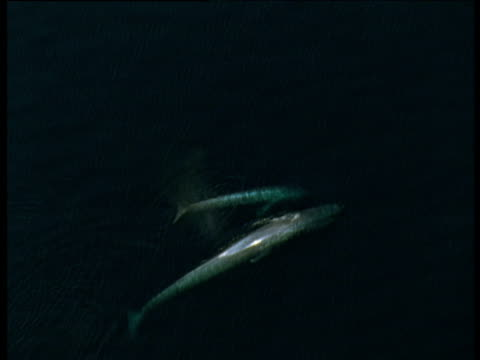 track past blue whale and calf, sea of cortez - blauwal stock-videos und b-roll-filmmaterial