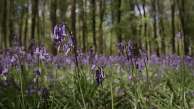 Track past flowering bluebells (Hyacinthoides non-scripta) in Spring woodland, Wiltshire, England