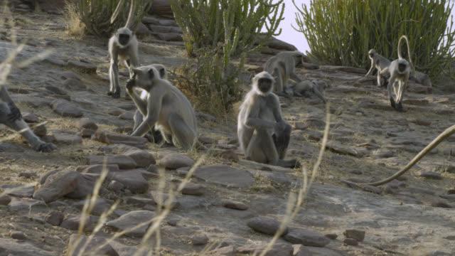 Track past foraging grey langur monkeys (Semnopithecus dussumieri), Jodhpur, India