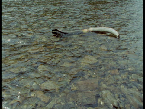 "vidéos et rushes de track past fossil mammoth tusk in stream, fairbanks, alaska - ""bbc natural history"""