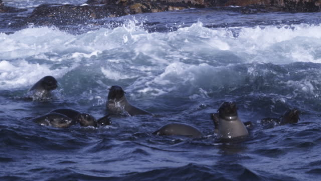 slomo track past group of cape fur seals swimming and looking at camera - 50 seconds or greater stock videos & royalty-free footage