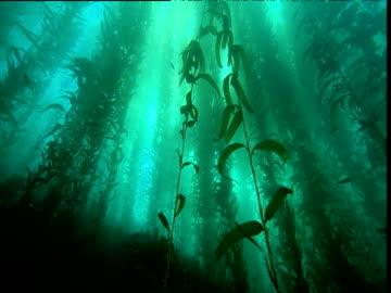 vídeos y material grabado en eventos de stock de track past kelp forest, california - kelp