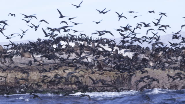 slomo track past massed cape cormorants flying from rocks with cape fur seal colony - 水生哺乳類点の映像素材/bロール