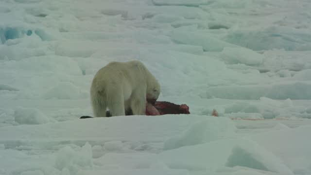 vídeos de stock, filmes e b-roll de track past polar bear looking around then eating blubber from seal carcase in ice field - forma da água