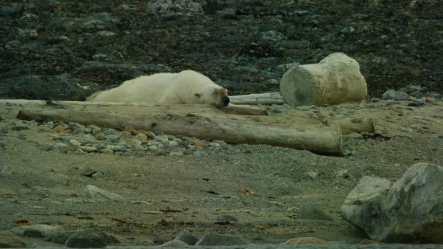 vídeos y material grabado en eventos de stock de track past polar bear sleeping on rocks with beach debris in foreground - hurgar en la basura