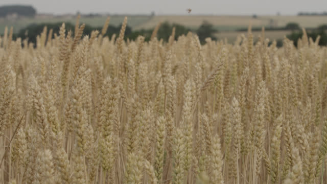 Track past ripening wheat (Triticum aestivum) crop in field, Somerset, England