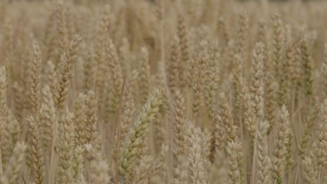 Track past ripening wheat (Triticum aestivum) crop in field, Somerset, England